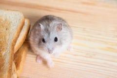 Kleiner Jungar-Hamster nahe den Brottoast stockfotos
