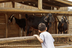 Kleiner Junge betrachtet die Ziegen über dem Zaun Stockfotos