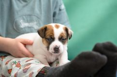 Kleiner Junge, der einen Steckfassungsrussel-Terrierwelpen umarmt Er ` s, das den Hund auf seinen Händen hält Lizenzfreies Stockfoto