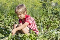 Kleiner Junge, der Gurken im Garten erntet outdoor Stockfoto