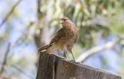 Kleiner junger Adler gehockt auf einem Schnittstamm Stockfotos