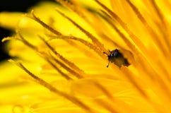 Kleiner Käfer auf Löwenzahn lizenzfreie stockfotos