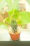 Kleiner Kaktus, der mit Retro- Filtereffekt verziert Lizenzfreies Stockfoto