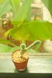 Kleiner Kaktus, der mit Retro- Filtereffekt verziert Stockfotografie