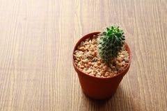 Kleiner Kaktus der Nahaufnahme auf hölzerner Beschaffenheit Stockfotografie