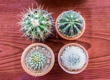 Kleiner Kaktus einige Spezies Lizenzfreies Stockbild
