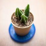 Kleiner Kaktus für verziert Stockfotos