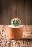 Kleiner Kaktus im Potenziometer Stockfotografie