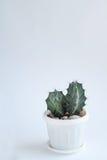 Kleiner Kaktus im weißen Topf auf einem weißen Hintergrund Weicher Fokus Stockfoto