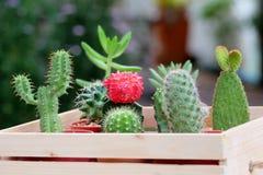 Kleiner Kaktus und Succulent im reizenden hölzernen Behälter Stockfotografie