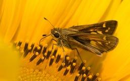 Kleiner Kapitänschmetterling, der auf Sonnenblume einzieht Stockbild