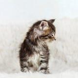 Kleiner Katzenmaine-Waschbär, der auf weißem Pelzhintergrund sitzt Lizenzfreies Stockbild