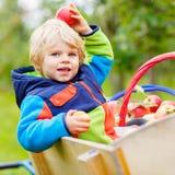 Kleiner Kleinkindjunge, der rote Äpfel auf Bauernhof auswählt Stockbilder