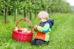 Kleiner Kleinkindjunge von zwei Jahren rote Äpfel in einem Obstgarten auswählend Lizenzfreie Stockfotos