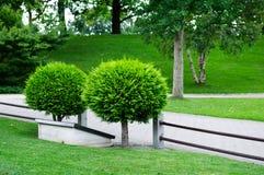 Kleiner kugelförmiger Arborvitae Stockbilder