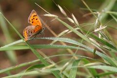 Kleiner kupferner Schmetterling Stockbilder