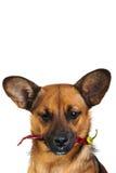 Kleiner lustiger Hund Stockfoto