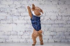 Kleiner lustiger Hund der braunen Farbe mit dem gelockten Haar von Zwergpudelzucht aufwerfend in der Kleidung f?r Hunde Themazus? stockfotografie