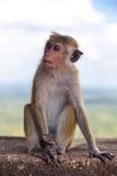 Kleiner Macacaaffe, der auf der Wand stationiert Stockfotos
