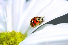 Kleiner Marienkäfer auf Gänseblümchen Stockfotografie