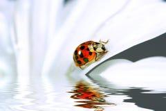 Kleiner Marienkäfer auf Gänseblümchen Stockbilder