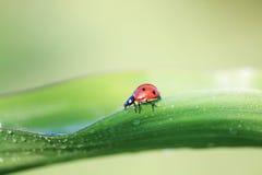 kleiner Marienkäfer, der auf das grüne Gras bedeckt mit Tropfen des Taus kriecht Stockfotos