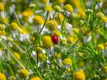 Kleiner Marienkäfer unter Gänseblümchen lizenzfreie stockbilder