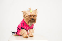 Kleiner mißfallener Hund in der rosafarbenen Kleidung lizenzfreie stockfotos