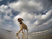 Kleiner Mischhund, der mit Ball spielt Lizenzfreies Stockbild