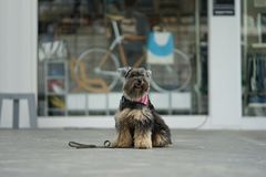 Kleiner Mischzuchtschwarz-Farbhund, der auf dem Boden sitzt Lizenzfreie Stockfotos