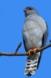 Kleiner mit einem Band versehener Hühnerhabicht (Accipiter badius) Lizenzfreie Stockfotos