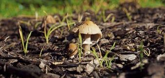 Kleiner mit einer Kappe bedeckter Pilz, der in den Holzspänen wächst Lizenzfreies Stockbild