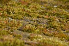 Kleiner Moss Plant Grow On Stone stockfoto