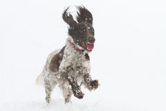 Kleiner Munsterlander playing. In the snow Stock Images