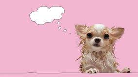 Kleiner nasser Chihuahuahund mit denken Blase auf rosa Hintergrund Stockfoto