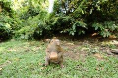 Kleiner netter Affe, der auf Gras sitzt und Kokosnuss isst Lizenzfreie Stockbilder