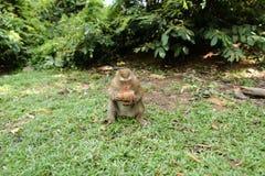 Kleiner netter Affe, der auf Gras sitzt und Kokosnuss isst Lizenzfreies Stockfoto