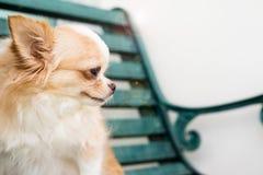 Kleiner netter brauner Chihuahuahund, der auf grüner meatl Bank sitzt Lizenzfreie Stockfotos