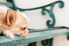 Kleiner netter brauner Chihuahuahund, der auf grüner Metallbank sitzt Stockfotos