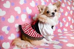 Kleiner netter brauner Chihuahuahund, der auf rosa Hintergrund sitzt Stockbild