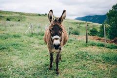 Kleiner netter Esel auf dem Gebiet Lizenzfreies Stockbild
