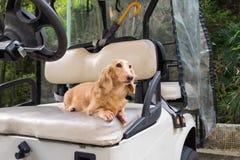 Kleiner netter Hund, der auf altem verwittertem Golfmobilsitz steht stockbild