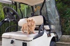 Kleiner netter Hund, der auf altem verwittertem Golfmobilsitz steht lizenzfreies stockbild