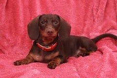Kleiner netter Hundeschokolade Dachshund legt auf rosa Hintergrund Lizenzfreie Stockfotografie