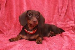 Kleiner netter Hundeschokolade Dachshund legt auf rosa Hintergrund Lizenzfreie Stockbilder