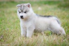 Kleiner netter Welpe des sibirischen Huskys Lizenzfreie Stockbilder