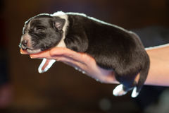 Kleiner neugeborener Welpe, der auf seinem Arm schläft eine Woche Lizenzfreie Stockfotografie