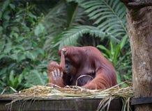 Kleiner Orang-Utan, der seine Mutter umarmt Lizenzfreies Stockfoto