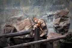 Kleiner orange Affe, der im Zoo sitzt Sie langweilt sich Stockfoto