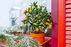 Kleiner Orangenbaum im Blumentopf Stockfoto